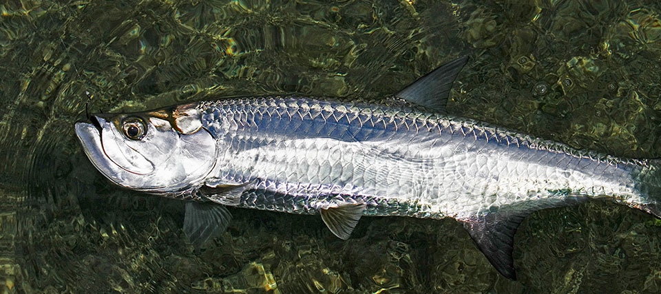 Baby Tarpon Fishing in the Florida Keys