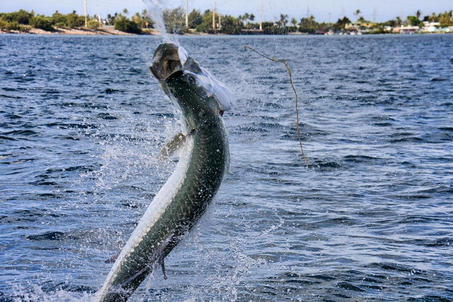 Tarpon fishing in islamorada and marathon florida keys for Islamorada tarpon fishing