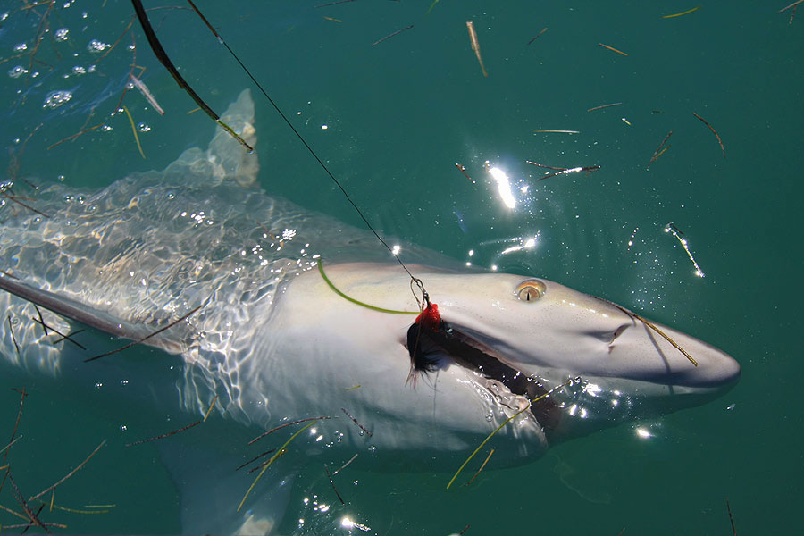 Light tackle shark fishing in islamorada and marathon for Shark fishing in florida