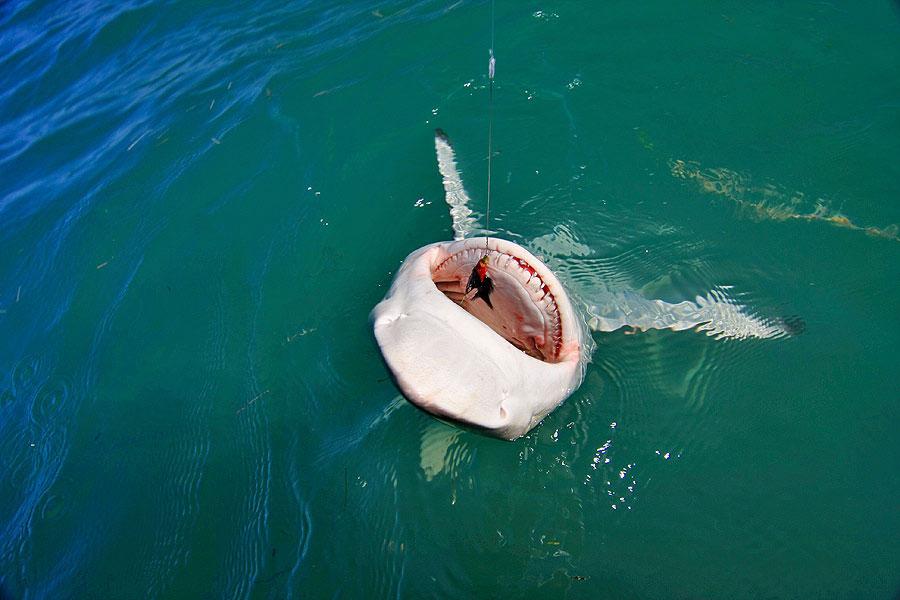 Light tackle shark fishing in islamorada and marathon for Fishing jobs in florida
